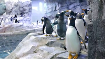 3316225_web1_Detroit-Zoo-Penguins_Chri-1280×720